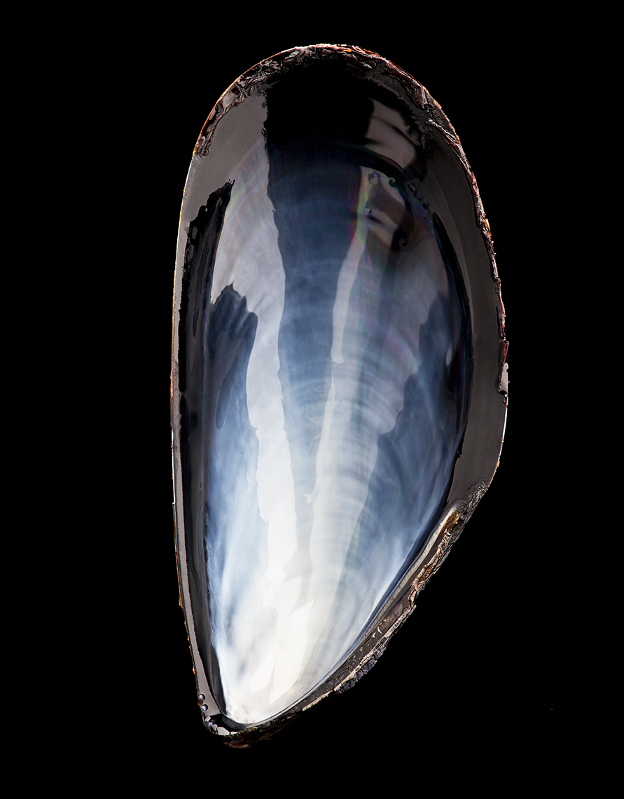 MUSSEL SHELL ON BLACK SHOT BY DAVID FILIBERTI